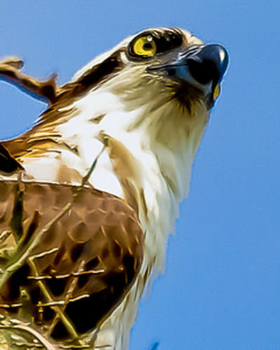 Animal Head  Beauty In Nature Bird Of Prey Close-up Feather  Focus On Foreground Low Angle View Nature Ospreys Outdoors