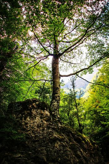 Tree Tree Trunk Growth Green Color Branch Forest Tranquility Nature Beauty In Nature Outdoors Lush Foliage Tranquil Scene WoodLand Rocky Mountains Rock From Below Low Angle View Nature Landscapes Ordesa Ordesa National Park Ordesaymonteperdido Tree Trunk EyeEm Gallery Dramatic Angles Finding New Frontiers