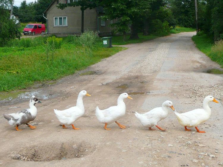 Animal Themes Bird Country Road Geese Goose Grass Graue Gans Gänsemarsch In Single File Medium Group Of Animals Skewbald Skewbald Goose Weiße Gänse White Geese