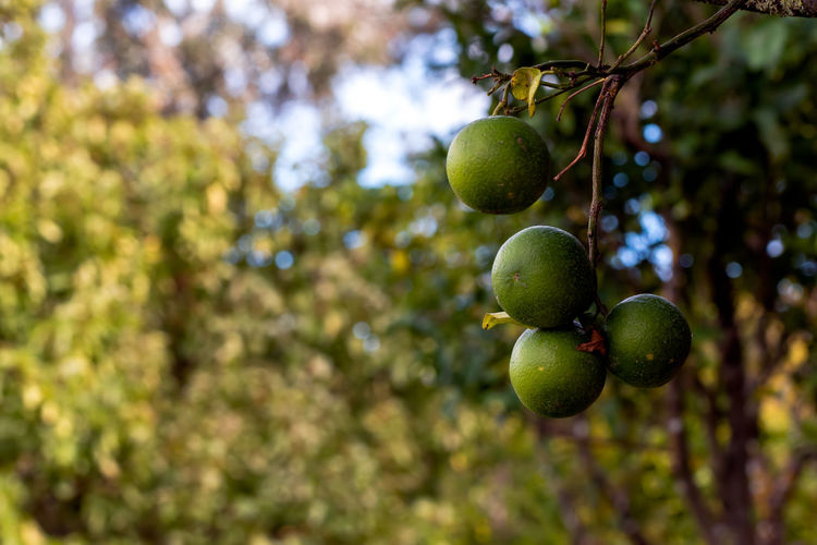 Fruit Healthy Eating Food Tree Food And Drink Plant Growth Green Color Freshness Focus On Foreground No People Day Wellbeing Leaf Close-up Branch Nature Plant Part Fruit Tree Outdoors Ripe