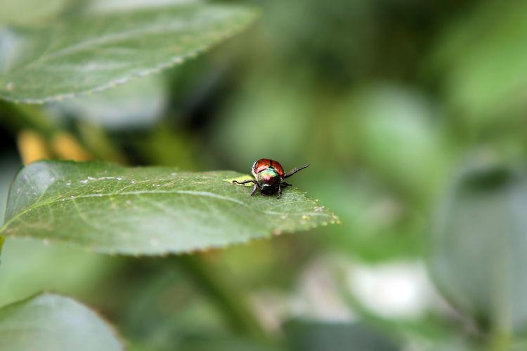 Beetle Animal