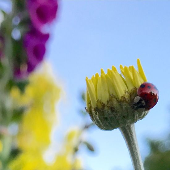 A ladybird hanging out in my garden No People Food And Drink Food Close-up Outdoors Day Freshness Nature Beauty In Nature Sky 30dayswild Ladybird Insect