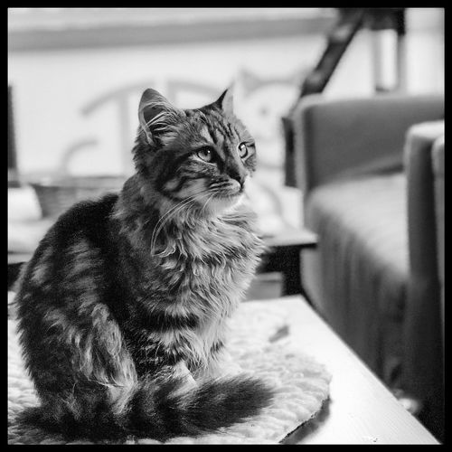 A portrait of fluff - @cat_lounge_dublin Mobilephotography ShotOnIphone IPhoneography IPhone Blackandwhite Bnw Travel Photography Travel Cat Lounge Dublin Ireland Fur Fluff Kitten Cat Domestic Cat Pets One Animal Animal Themes Domestic Animals Mammal Feline Indoors  Sitting No People Alertness Portrait Day Close-up