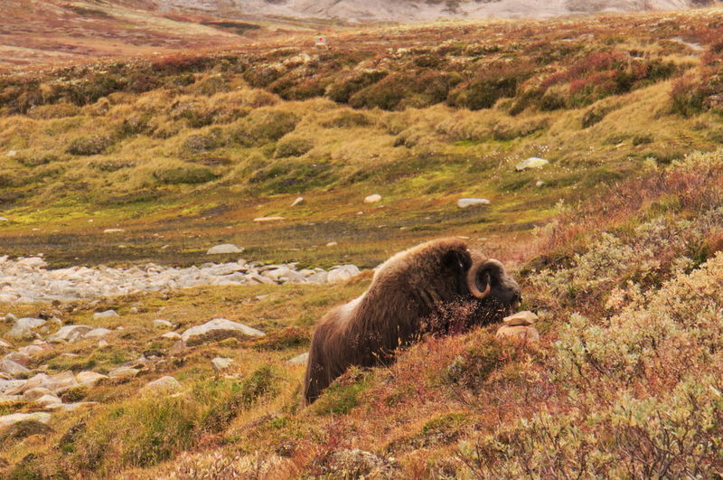 View of musk ox on grass