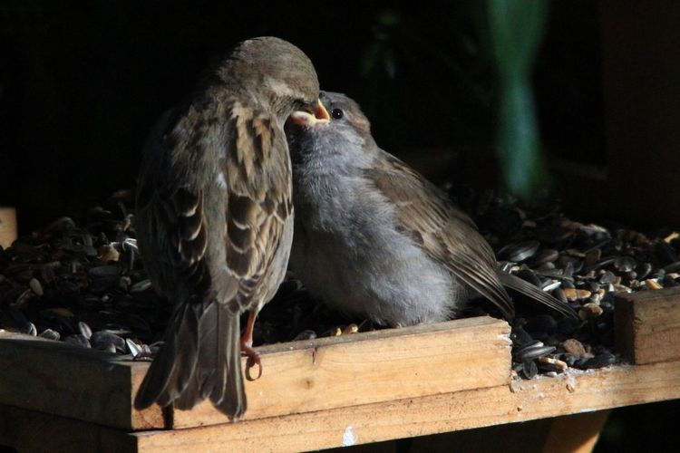Close-up of sparrow feeding young bird on wood