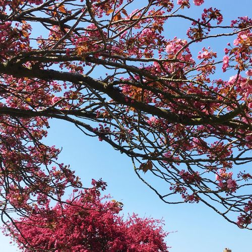 Spring blossom Tree Low Angle View Sky Plant Branch Beauty In Nature Growth Nature No People Tranquility Clear Sky Flower Flowering Plant Day Outdoors Blossom Sunlight Springtime Botany Blue