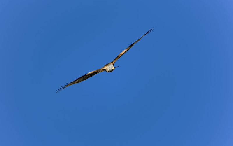 I usually don't do any bird photography but this chap flew very closely so I took the shot. Flying Kite Kite - Bird Spread Wings One Animal Clear Sky Bird Animal Wildlife Animal Themes Animals In The Wild Low Angle View Mid-air Animal Flying Bird Bird Of Prey Bird In Flight Nature