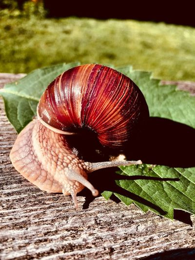 snails Animal Animal Shell Animal Themes Animal Wildlife Animals In The Wild Close-up Crawling Day Focus On Foreground Gastropod Insect Invertebrate Leaf Mollusk Nature No People One Animal Outdoors Plant Part Shell Snail Snails Snails Having Fun Snails Pace Snails🐌