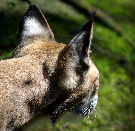 Lince Linces Felino Felinos Grandegatto Bigcat First Eyeem Photo