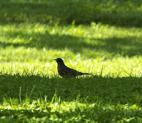 A robin resting