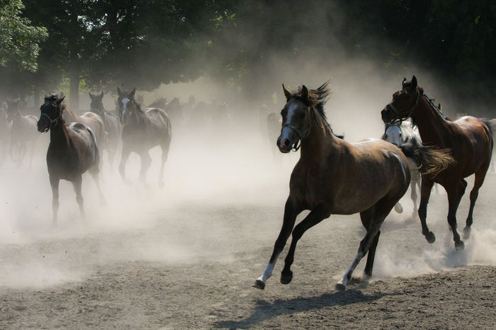 Animal Themes Arabian Horses Domestic Animals Dust Gallop Galloping Herd Of Horses Horse Horse Stud Horses Landscape Large Group Of Animals Mammal Nature No People Outdoors Running