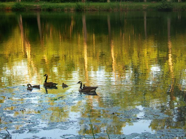 Geese Family Pond Reflections Water Reflections Trees Waterlilies Sea-rose Leafs Birds Animals In The Wild Animal Wildlife Animal Themes Waterfront Lake Forest Lake Light And Shadow Water Reflection Floating On Water Gosslings Nature Beauty In Nature Kinzig AuenDay Germany🇩🇪 Live For The Story The Great Outdoors - 2017 EyeEm Awards