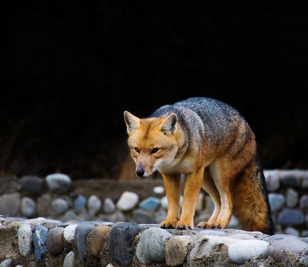 Foxy Animal