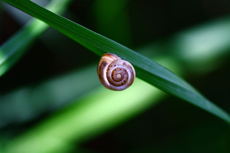 Animal Shell Beauty In Nature Close-up Focus On Foreground Green Green Color Macro Nature Outdoors Plant Selective Focus Shell Small Snails In Grass Snail Spiral Tranquility Vortex