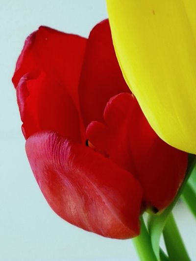 """Shy"" Red Tulip Head ""Hiding"" Behind yellow one 😉 . ... Red Color Red And Yellow Red Tulip Tulips Tulip Tulip Head Colorful Colourful Shy Hiding Macro Macro Photography"