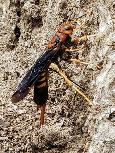 Insect One Animal Animal Themes Animal Wildlife No People Animals In The Wild Close-up Day Outdoors Nature Wasp Laying Eggs Wood Wasp Brady Saunders Scout Camp