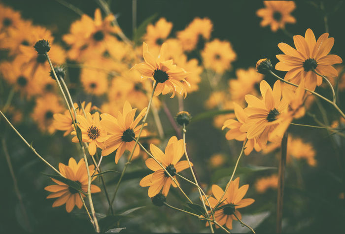 Yellow flowers in the fall Autumn Colors Flower Yellow Yellow Flower Beauty In Nature Defocus Flower Flower Collection Flower Head Focus On Background Growth Nature Nature_collection Outdoors Petal Plant