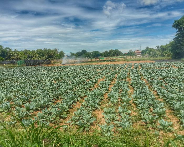 Healthy vegies to be delivered soon. Farmer's Life Farm Life Pleasefollow Pleaselike Pleasebuymyphoto First Eyeem Photo Clouds And Sky