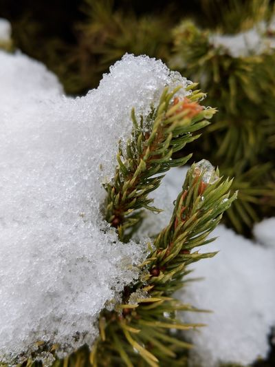 Kissed by Winter Snow Spruce Tree Stem Ice Signs Of Winter Nature Pine Tree Pinaceae Snow No People Winter Outdoors