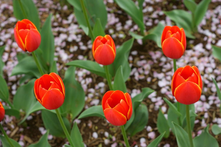 Bright Flowers Colour Of Life Flower Flower Field Nature Nature_collection Purple Red Tulips Red Tulips Up Close Spring Tulips Vivid Colours  White Color Palette
