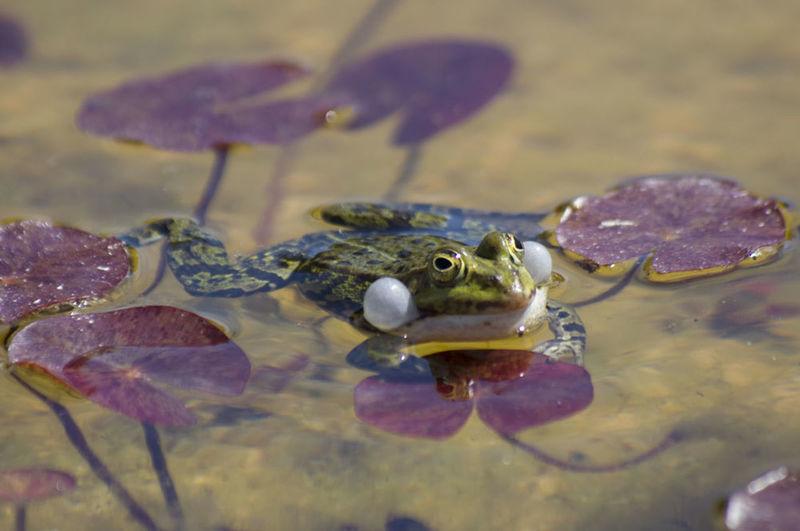Animal Animal Wildlife Close-up Floating On Water Frog Reptile Water The Portraitist - 2018 EyeEm Awards