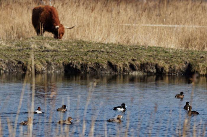 Duckies Lowland 😉 Cattle Landscape_photography Dutch Landscape