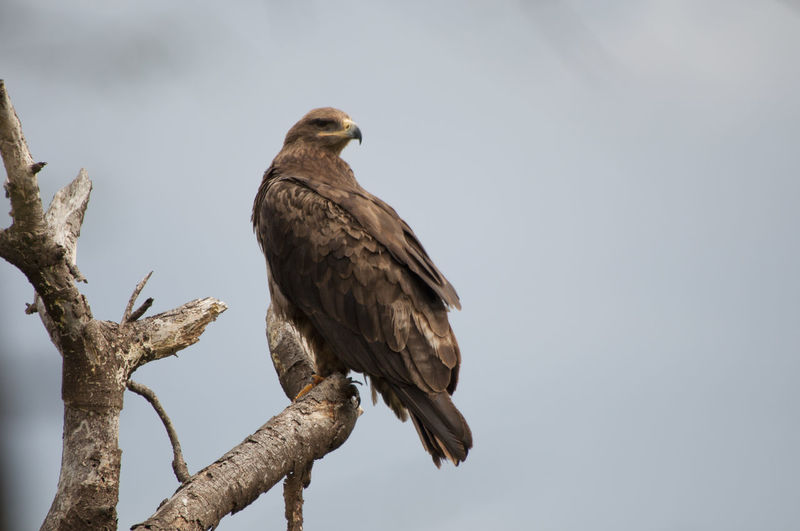 Low angle view of golden eagle perching on branch against clear sky
