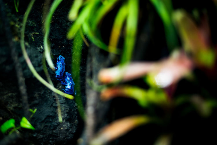 "A pair of blue poison dart frogs / okopipi (Dendrobates tinctorius ""azureus"") Blue Frog Dendrobates Tinctorius Dendrobates Tinctorius Azureus Endangered Species Frog Amphibian Animal Themes Animals In The Wild Blue Blue Poison Dart Frog Frogs Growth Nature No People Okopipi Outdoors Plant Poison Rainforest Selective Focus Wildlife"