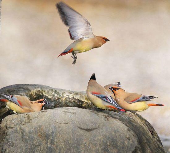 ヒレンジャク 野鳥撮影 Birds Animals In The Wild Animal Themes Animal Wildlife Nature Spread Wings Flying Beauty In Nature