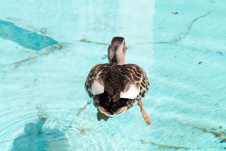 Close-up of duck swimming in water