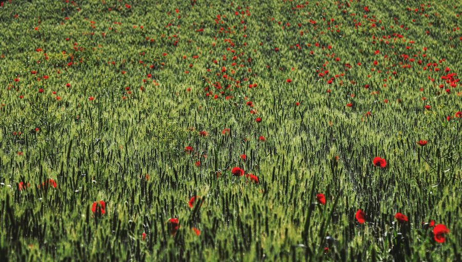 Wheat Field Wheat Agriculture Morning Light Taking Photos Feeling Creative OpenEdit EyeEm Best Shots Flower Collection EyeEm Nature Lover Nature Flower Red Poppy Full Frame Field Grass Close-up Green Color