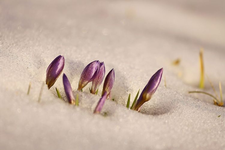 Beauty In Nature Close-up Crocus Day Flower Flower Head Fragility Freshness Growth Nature No People Outdoors