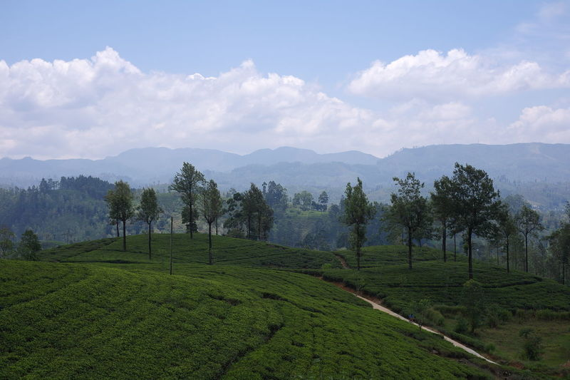 Tea plantation Cloud - Sky Green Color Landscape Plant Plantation Scenics - Nature Sky Tea Crop Tranquil Scene Tranquility EyeEmNewHere