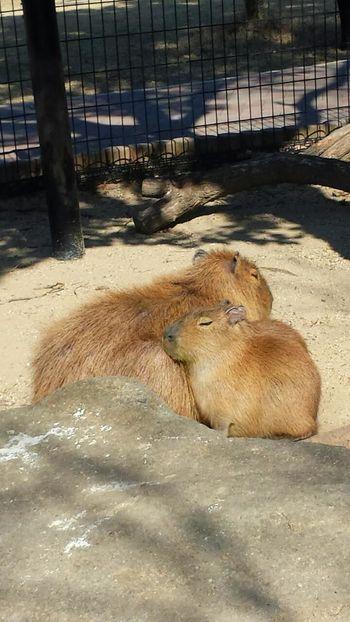 Animal Kapibara