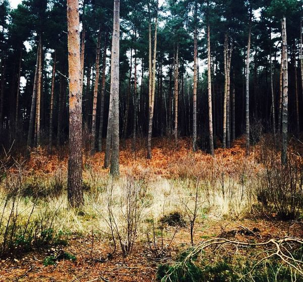 Experiencing Life Forest WoodLand Plant Naturalworld Beauty In Nature Beautiful Gloomy Winter Still Life Nature Sherwood Forest Pine Trees Tree Britishweather Misty Natural Beauty England