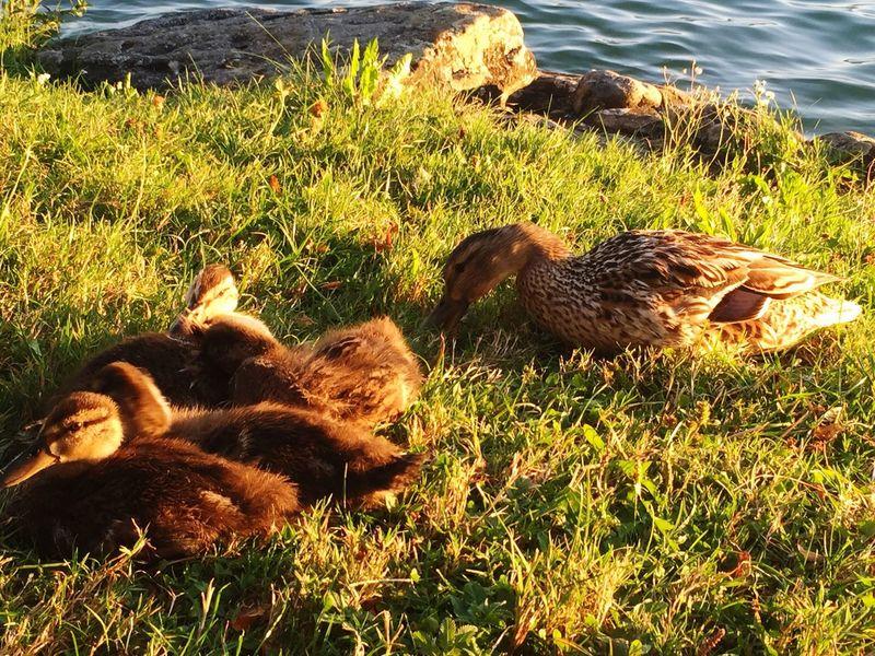 duck babyducks grass water waterfront domestic animals animal themes mammal nature peaceful Herrliberg switzerland