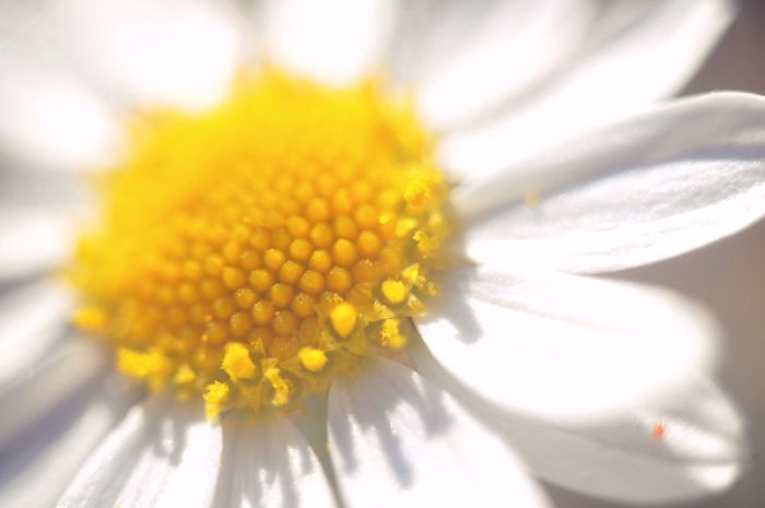Deceptively Simple EyeEm Nature Lover Nature_collection Summer Macro Flowers Macroflower Camomile White Flower Beautiful Nature EyeEmNewHere