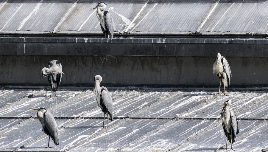 Heron Bird Animal Animal Themes Animal Wildlife Architecture Bird Building Exterior Built Structure Day Focus On Foreground Group Of Animals Nature No People Outdoors Perching Roof Sunlight Vertebrate Wall - Building Feature Wood - Material