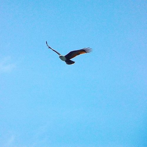 Brahminy Kite - Nagapattinam, Tamil Nadu. On the way to Velankanni. NIKON S220 Brahminykite Kite Nagapattinam Tamilnadu Exploring Southindia Nikon Photography Birdphotography