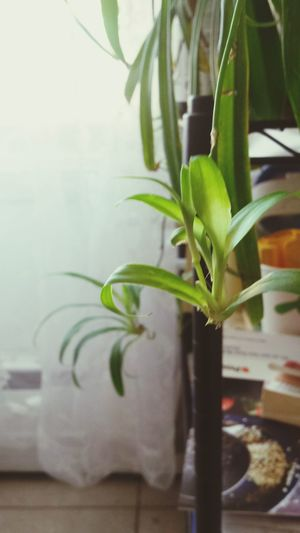 Greeny  Babyplants Green Color Growth Leaf Nature Freshness Day 😚 Happy Plant Tree No People Close-up Healthy Eating Food Beauty In Nature Indoors