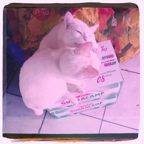 Cats Kisses White Couple Whitecats Hipstamatic Oggl Helgaviking Kodama