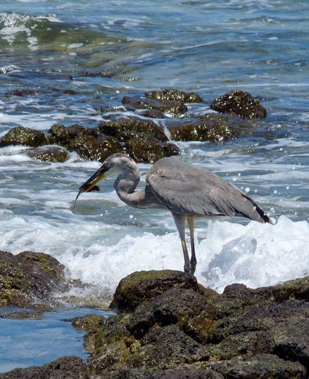 Heron Gray Heron One Bird Animal Themes Animals In The Wild Sea Beach Rocks Perching Waves Water Eating Fish Bird Eating Bird Animals In The Wild Animal Wildlife Nature One Animal Day Outdoors No People Beak Crane - Bird Galapagos Islands