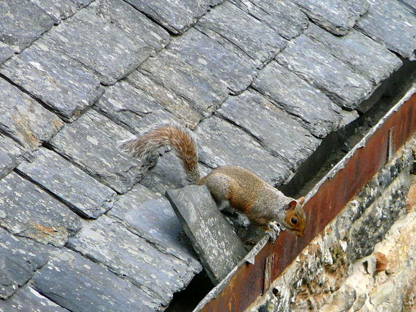 Are you NUTS Dale (◍•﹏•) Animal Themes Animal Wildlife Animals In The Wild Antics Bushy Tail Day Eavestrough Gutter High Angle View Nature No People One Animal Outdoors Peering Roof Tile Rusty Metal Scotland 💕 Squirrel Closeup