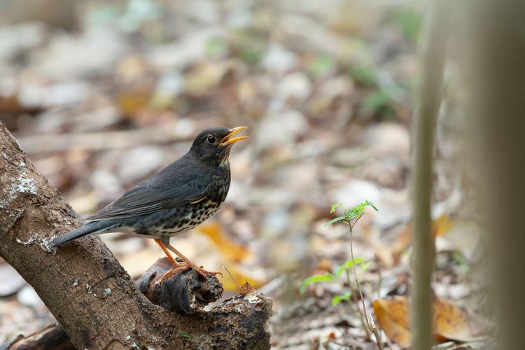 Close-up of blackbird perching on wood