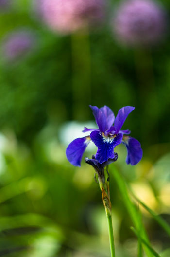 Beauty In Nature Blooming Close-up Day Flower Flower Collection Flower Head Flowers Fragility Freshness Growth Iris Iris - Plant Iris Flower Nature No People Outdoors Petal Plant Purple