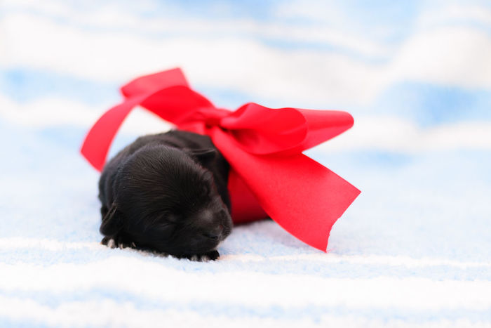 Border collie puppies Bow Dogs Love Animal Animal Themes Animals Black Blackandwhite Canine Dog Domestic Domestic Animals Indoor Luna Mammal Newborn No People One Animal Pets Puppies Puppy Small Studio Shot Sweets White Background