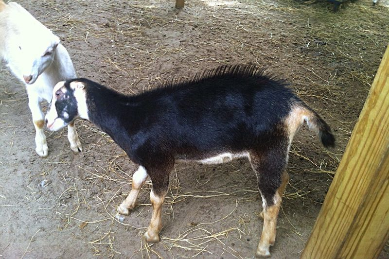 Goat Life Goatfarm Baby Goats Goats Serenitygoats Serenitygoats