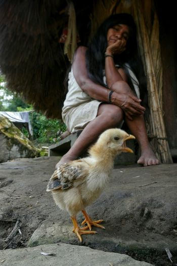 Ciudad Perdida Sierra Nevada De Santa Marta Indigenous People Kogi Chick Screeming Animals Focus On Foreground Chicken Woman Traditional Hut People Traveling Travel People And Places My Year My View Miles Away Women Around The World The Street Photographer - 2017 EyeEm Awards Pet Portraits Connected By Travel An Eye For Travel This Is Latin America