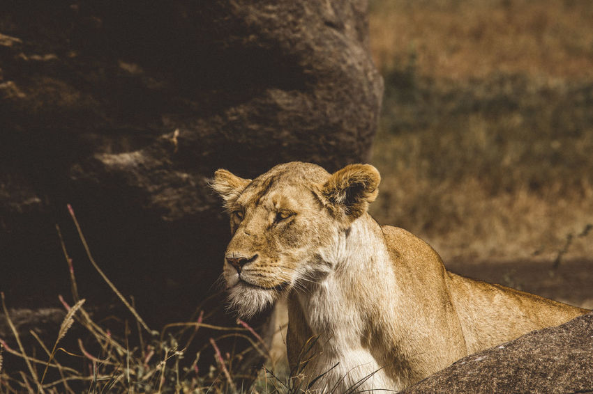 Lion hunt in the serengeti Serengeti National Park Tanzania Animal Animal Head  Animal Wildlife Animals In The Wild Big Five Cat Day Feline Focus On Foreground Lion - Feline Lion Hunting Lioness Looking Away Mammal No People One Animal Outdoors Serengeti Serious Look
