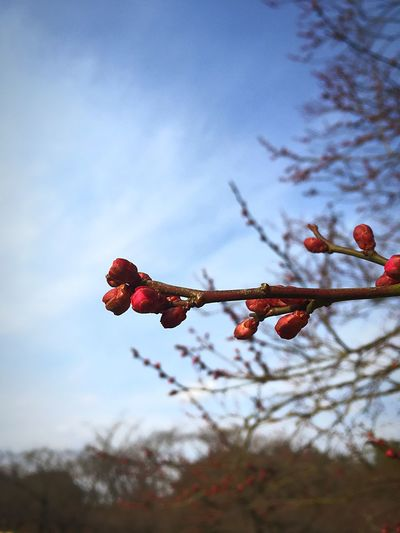 Close-up Bud Plum Blossom EyeEm Selects Flower Growth Nature Tree Beauty In Nature Red